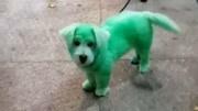 女友說綠色可愛,就把狗狗帶去染了色,我是不是發現了什麼?
