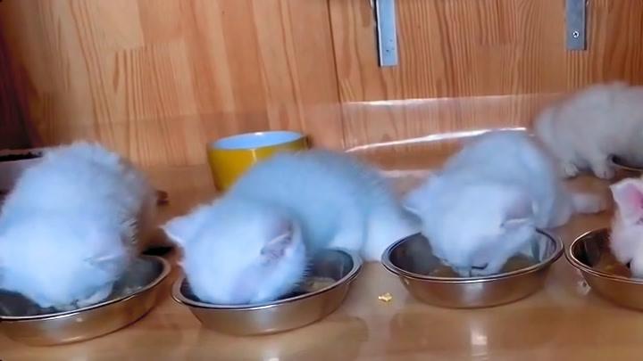 银色传奇名猫~刚开食的萌宝们,看吃的多香…